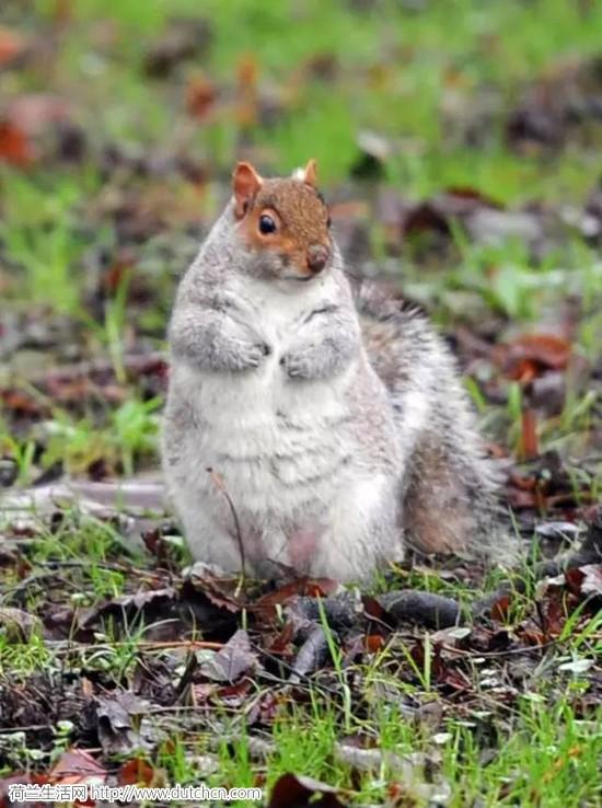 今年冬天太暖...然后全世界的松鼠都悲催的....变胖了....