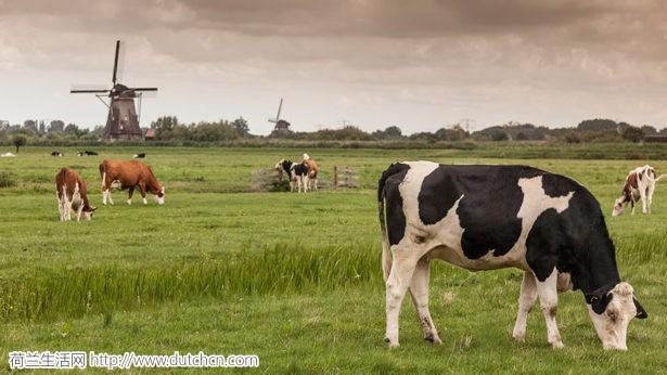 全球奶粉事件频发,为何荷兰奶粉仍一枝独秀?这背后原因,不得不服!