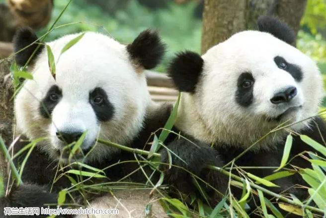 又到了万物复苏的季节,荷兰人帮助中国熊猫xxoo…真是操碎了心