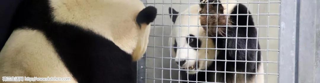 大熊猫在荷兰:为了下一代,目前正在火热培养感情中...