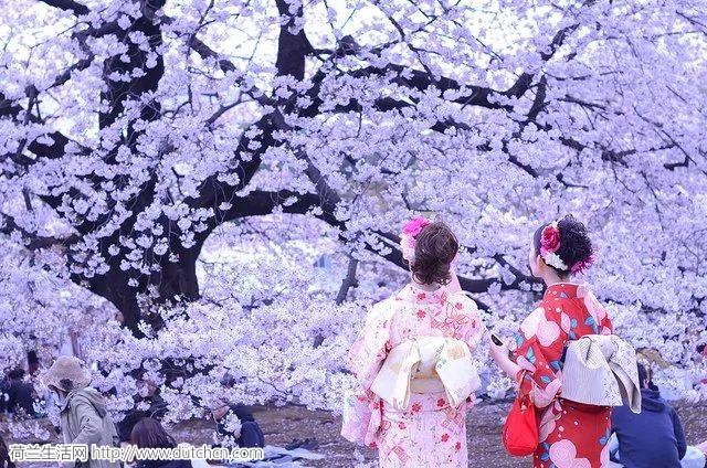 荷兰也能看到日本美景?粉色樱花梦还原你最真实的浪漫