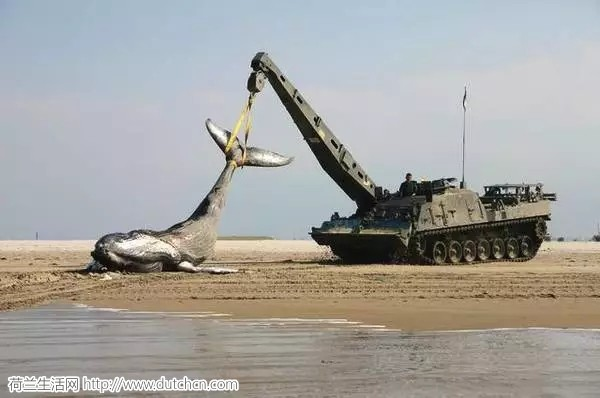海滩上惊现鲸鱼,荷兰竟为此出动战斗救援车