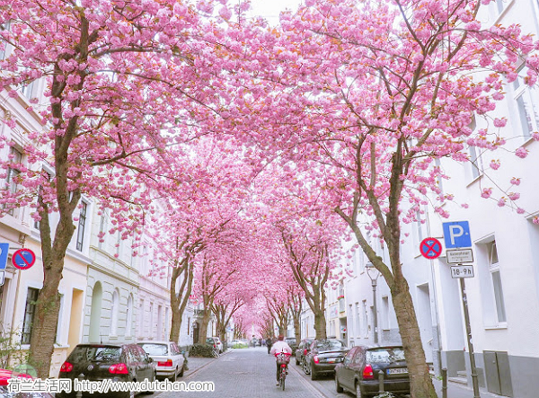 2019年荷兰观赏樱花攻略出炉!出发前必看!错过只能再等一年