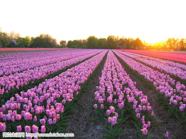 tulips_003.jpg