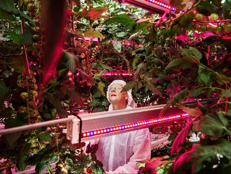 西红柿成长在LED灯下.png