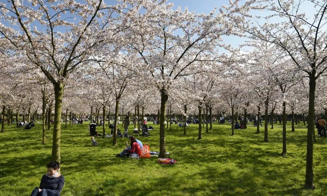 荷兰正式进入樱花季,除了阿姆斯特丹公园,这些地方也有哦