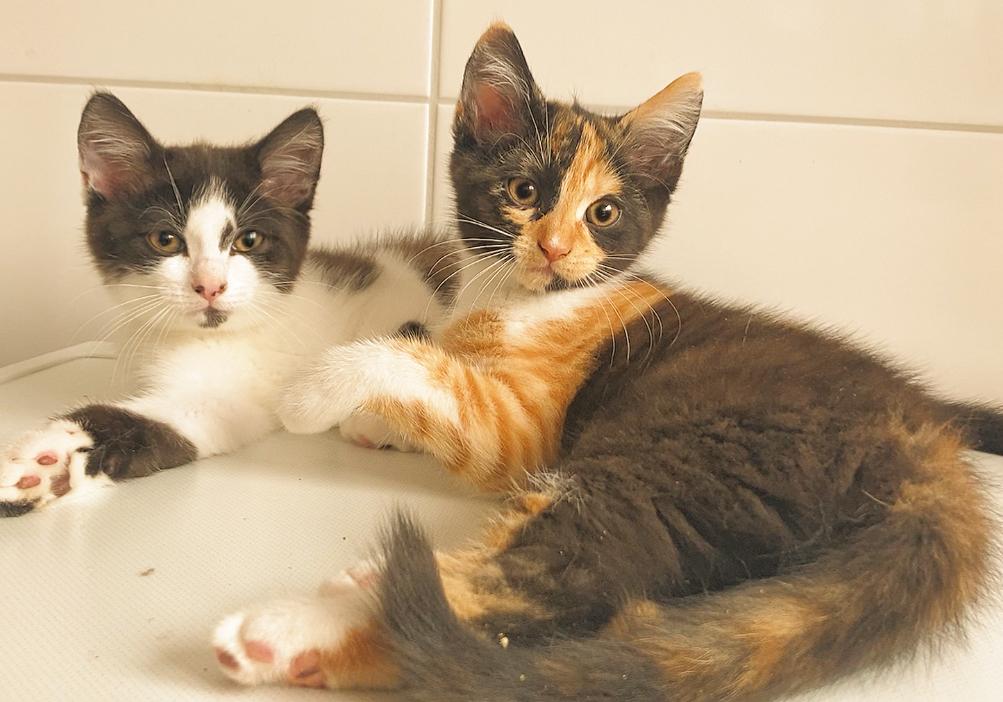出售四只三个月大的英长/英短猫。已断奶会用猫砂,已驱虫